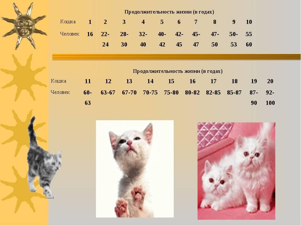 Сколько живут кошки: средняя продолжительность жизни стерилизованных, кастрированных и домашних котов