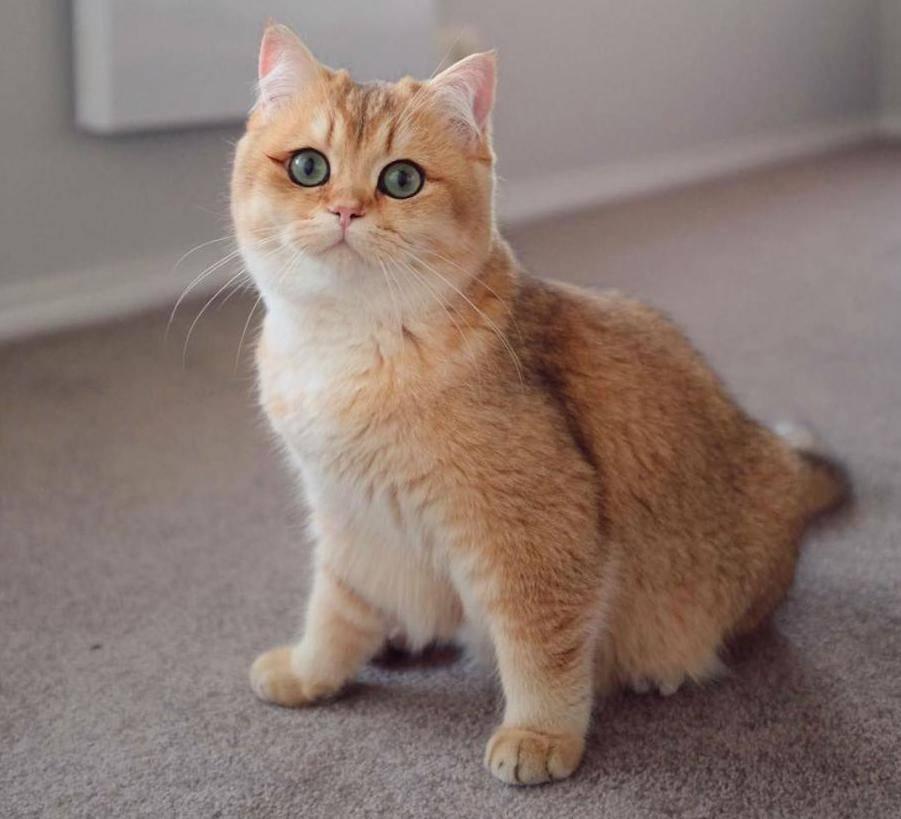 Кошка шиншилла: особенности, уход и содержание питомца, фото кота и разновидности породы: золотая, серебристая и другие