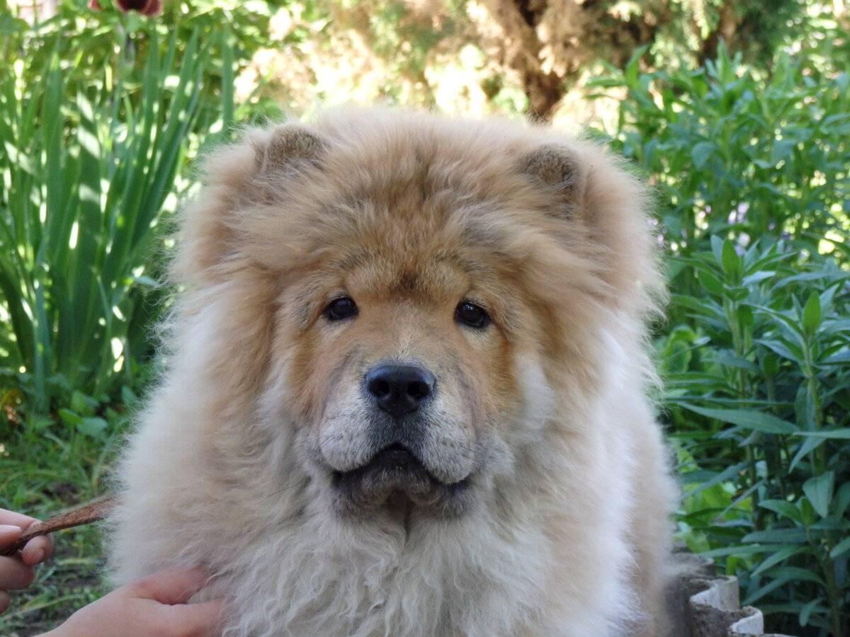 Чау-чау — любимая собака китайской знати и духовенства