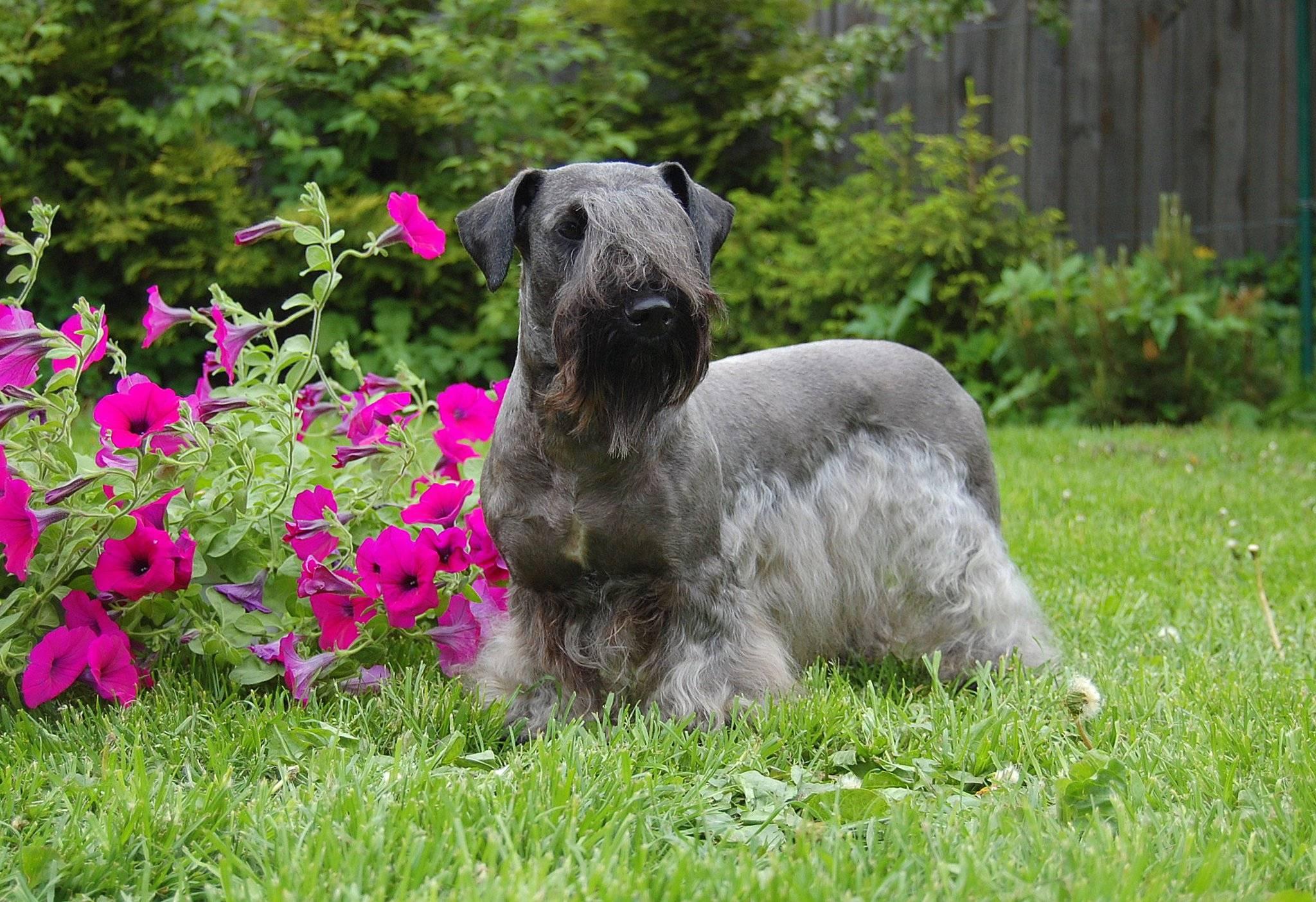 Чешский терьер: описание породы собак с фото и видео
