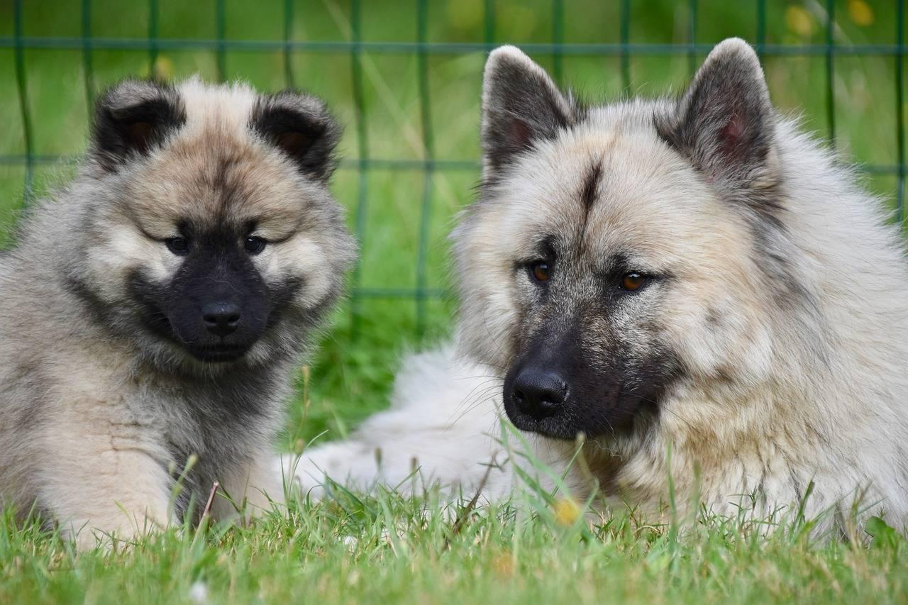 Евразиер: как содержать евразийского шпица, цена щенков, нюансы воспитания породы, описание собаки, отзывы и фото