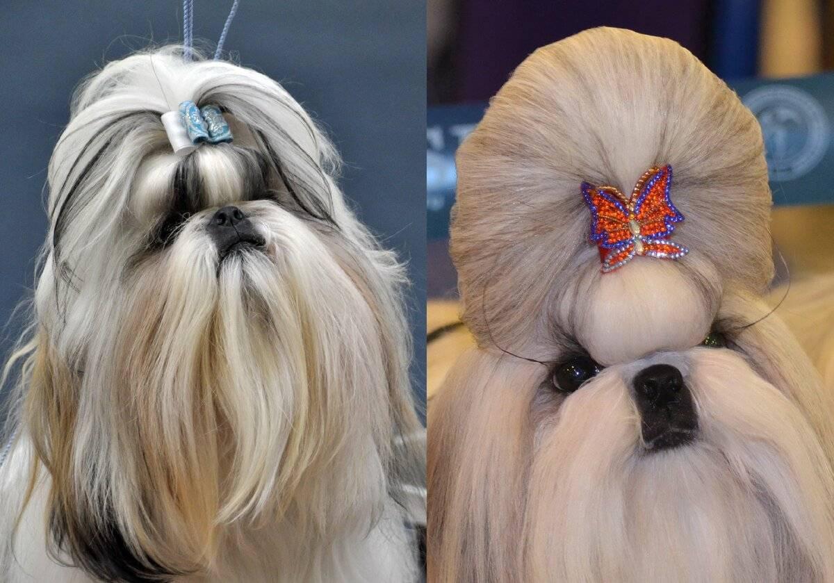 Описание породы собак ши-тцу и фото шиц