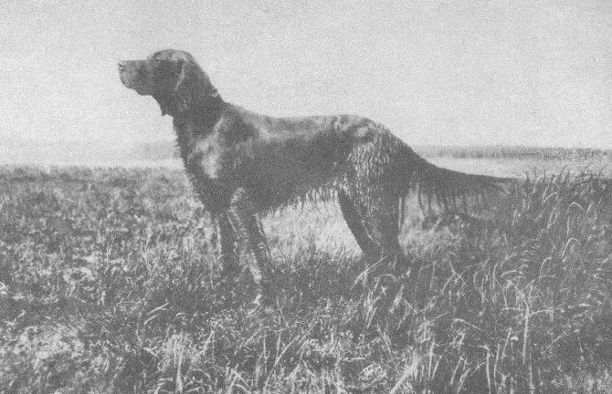 Веймаранер или веймарская легавая: фото и описание породы, уход