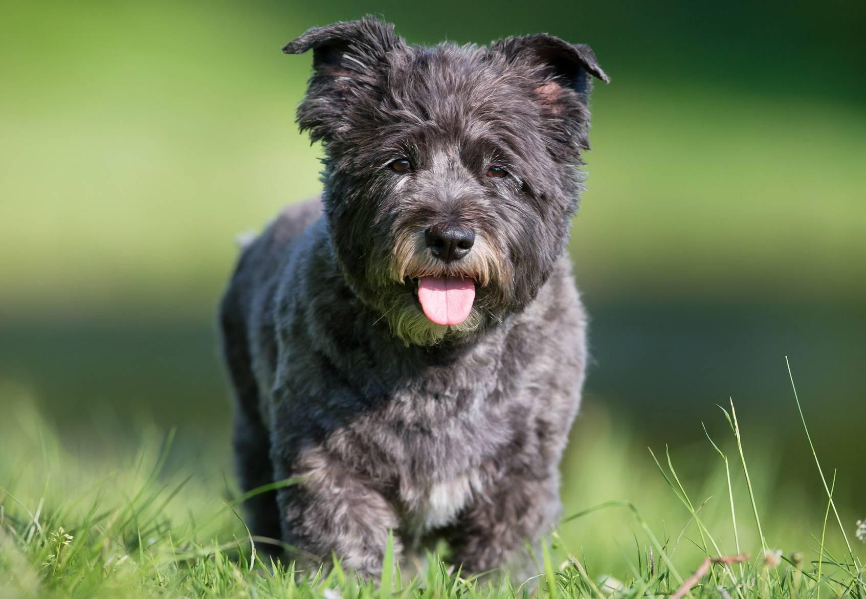 Керн-терьер (39 фото): описание породы, характер щенков. схема тримминга. собаки белого и других окрасов