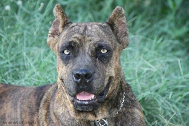 Аланская собака: как выглядит порода, описание ее характера и нюансы содержания