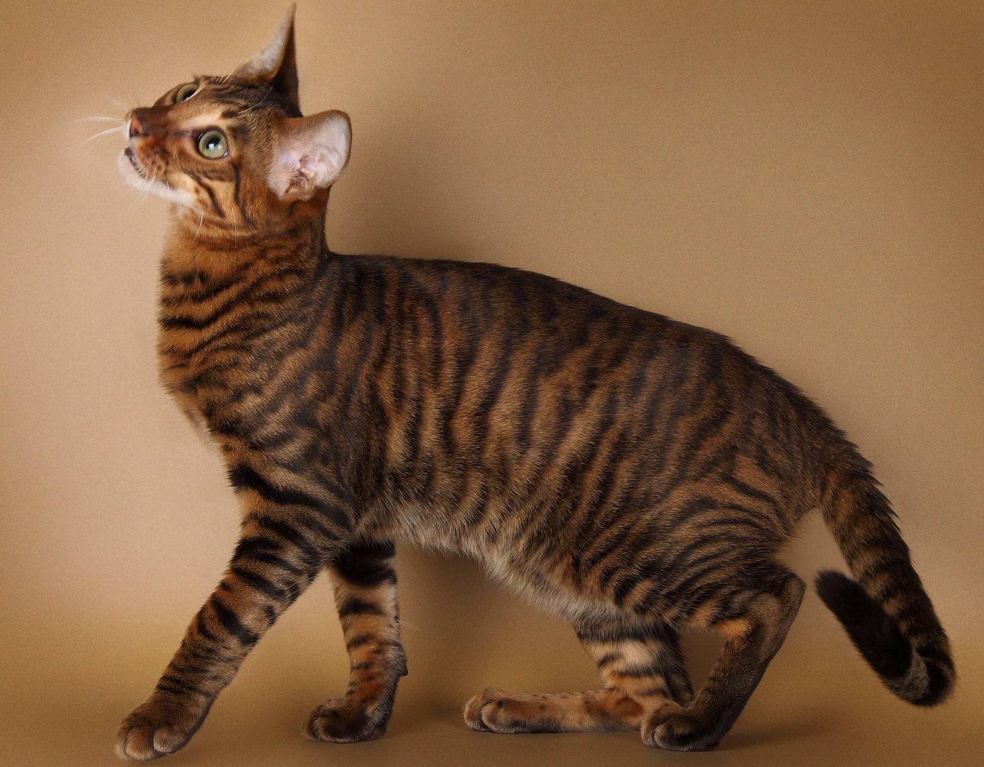 Тойгер - фото и описание породы кошек (характер, уход и кормление)
