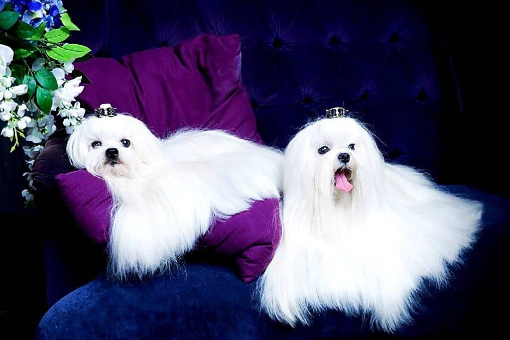 Мальтийская болонка (мальтезе) — подробное описание породы. все о собаке, фото, описание, характер, окрасы, содержание и уход