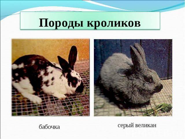 Кролики выгодной породы под названием бабочка — содержание, разведение, фото