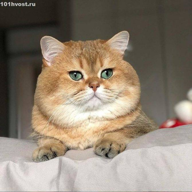 Кошка шиншилла: описание породы
