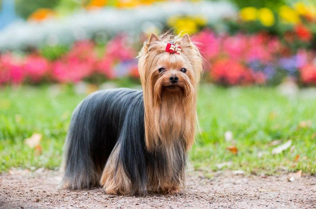 Содержание мини ерков: описание породы, правила ухода за йоркширским терьером, фото собак