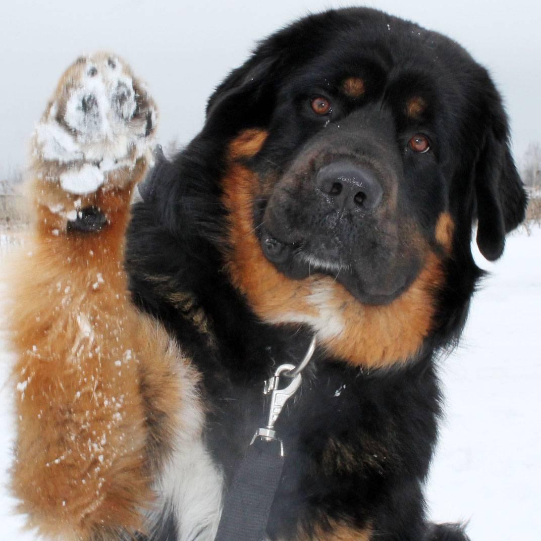 Бурят-монгольский волкодав (хотошо нохой): описание породы с фото и видео