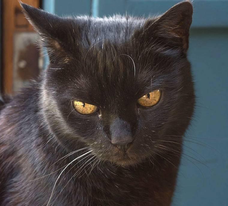 Йоркская шоколадная кошка | voprosoff.net