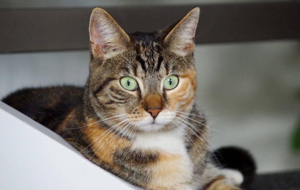 Кельтская кошка - все о породе от а до я + фото и отзывы
