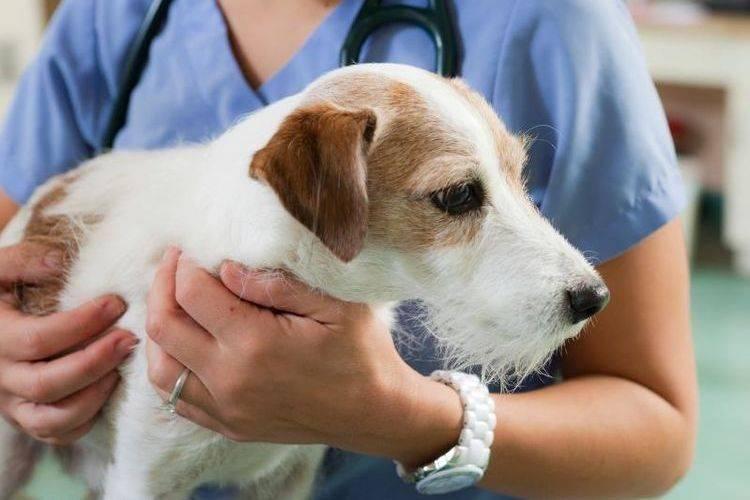 Киари подобный порок и сирингомиелия у собак