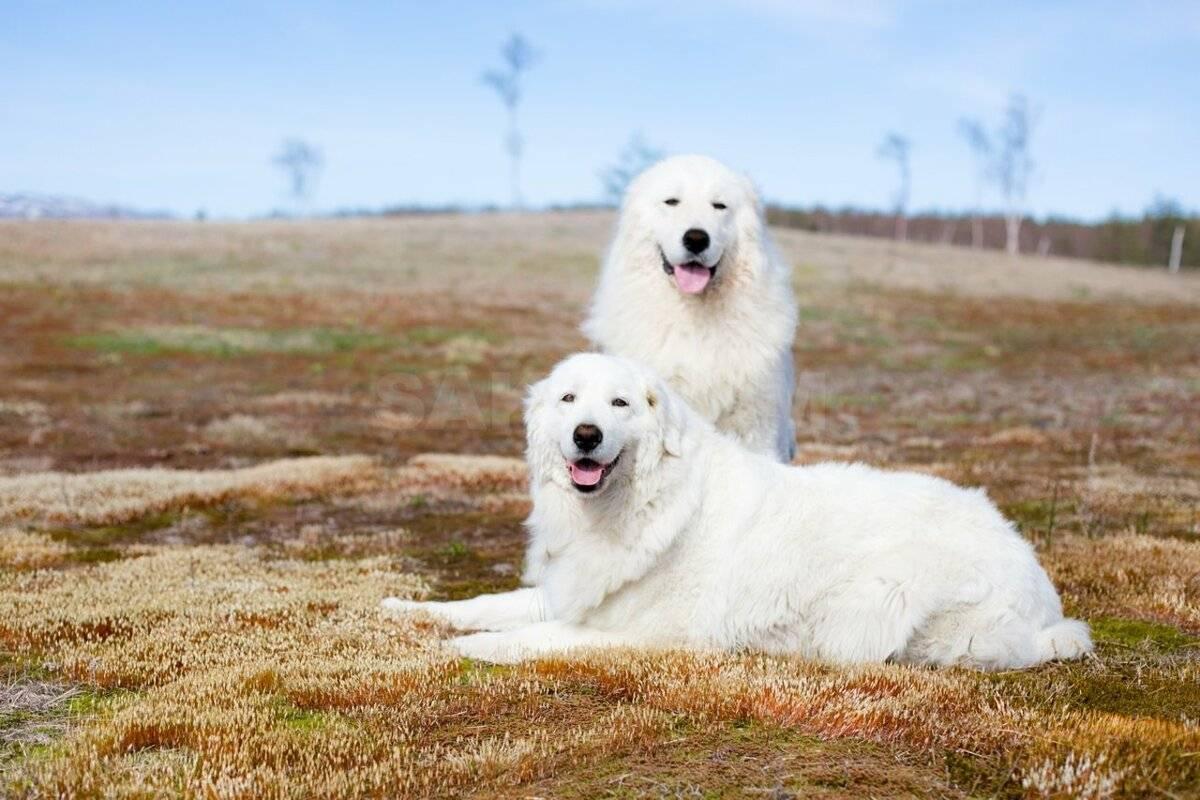 Порода собак маремма абруццкая итальянская овчарка