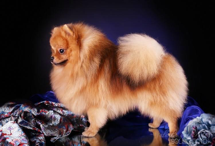 Померанский мини шпиц: описание породы белых и черных померанцев, фото собак