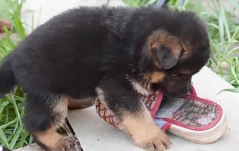 Что делать, если собака порезала подушечку лапы?