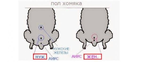 Как определить пол сирийского хомяка и джунгарского, чем отличаются хомяк-мальчик от девочки.