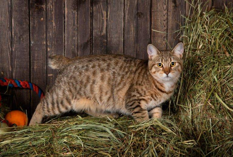 Пиксибоб: фото и описание породы кошек (характер, уход и кормление)