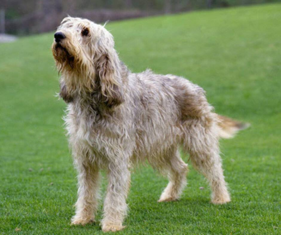 Португальская водяная собака: стандарт вассерхунда, внешность и характер породы, как содержать и ухаживать за кан даигуа, отзывы и фото