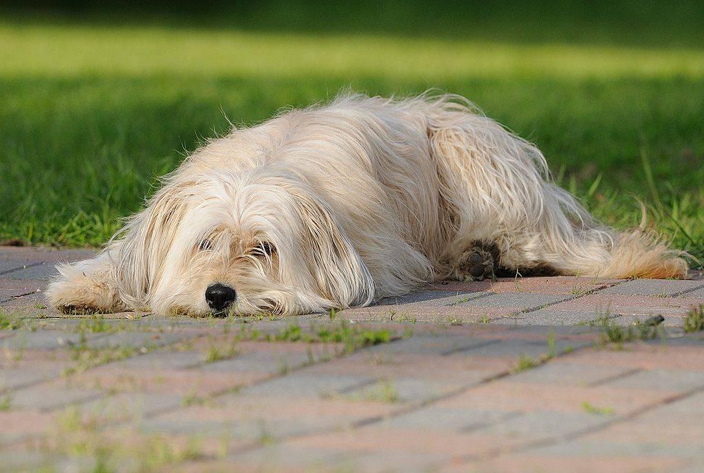 Пиренейская горная собака: описание большой породы (болезни и характер), ее фото, цена щенков, лучшие питомники, отзывы владельцев и отличия с овчаркой мареммой