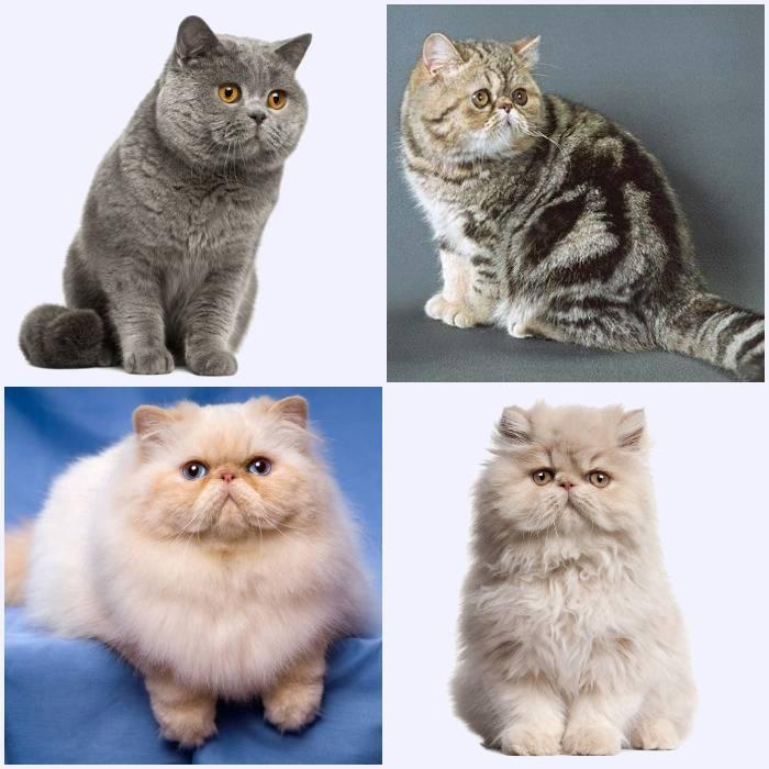Породы кошек с приплюснутой мордой |