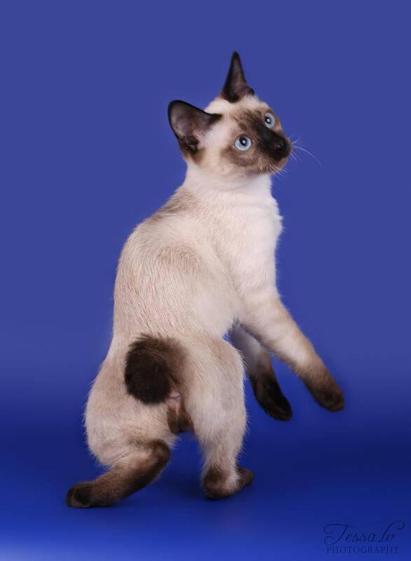 Меконгский бобтейл - описание породы кошек, уход, как купить котёнка меконгского бобтейла