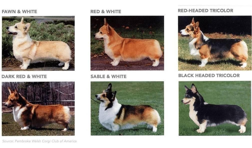 Вельш-корги пемброк: описание породы, характер, как ухаживать ичем кормить, цена щенков, фото + отзывы владельцев
