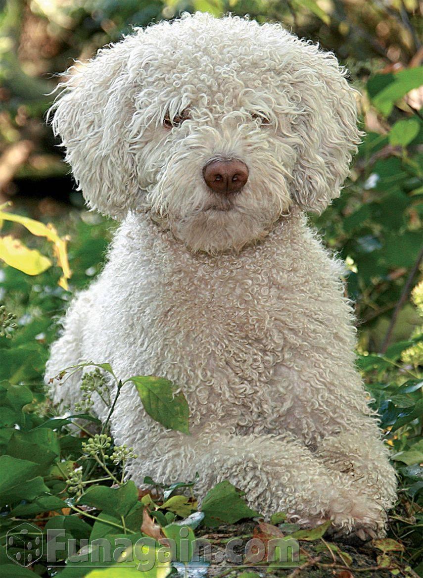 Прекрасная и редкая – португальская водяная собака