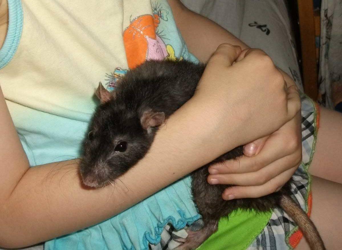 Почему моя крыса кусает меня? | домашние животные