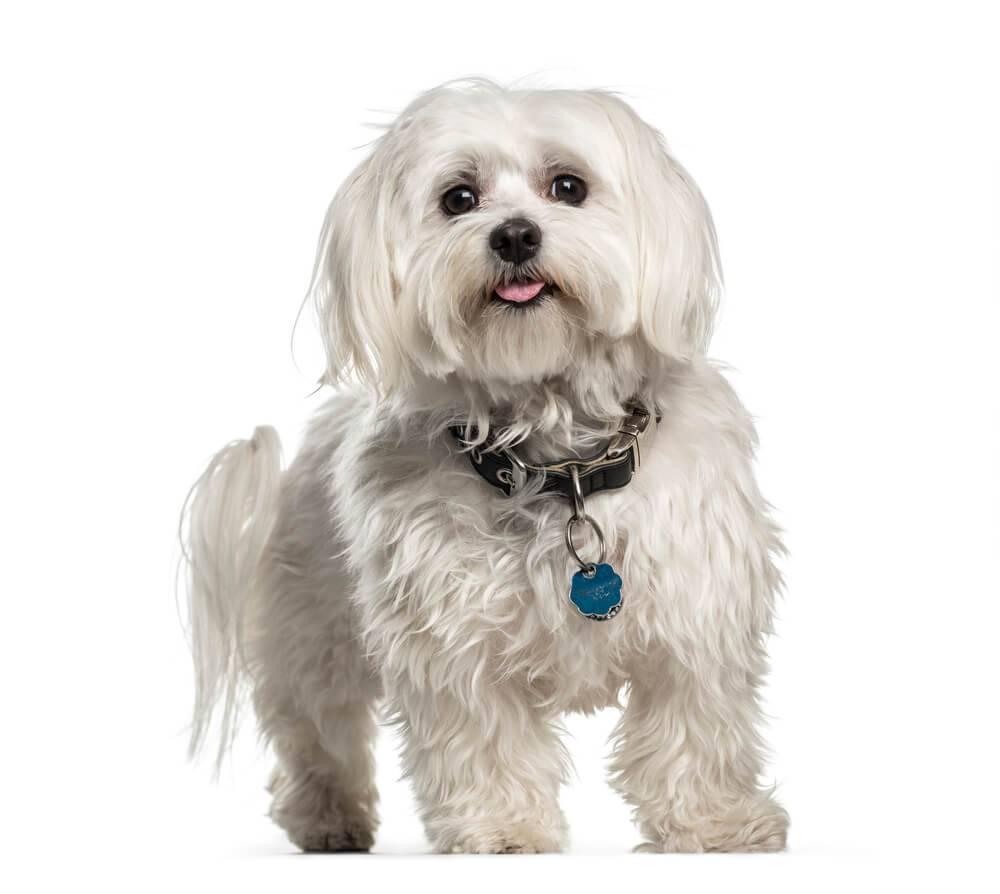 Мальтийская болонка: все о собаке, фото, описание породы, характер, цена