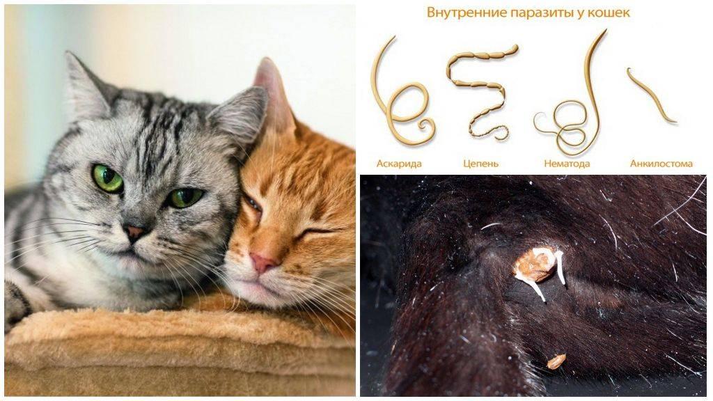 Паразиты у кошек, фото с названиями - обработка кошки от паразитов  (лечение и препараты)