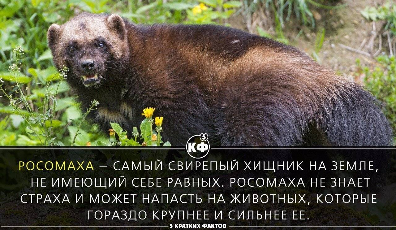 Росомаха. описание животного