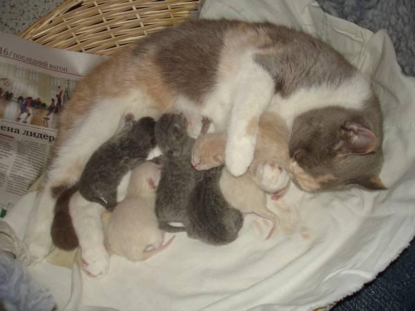 Интервал между котятами во время родов у кошек