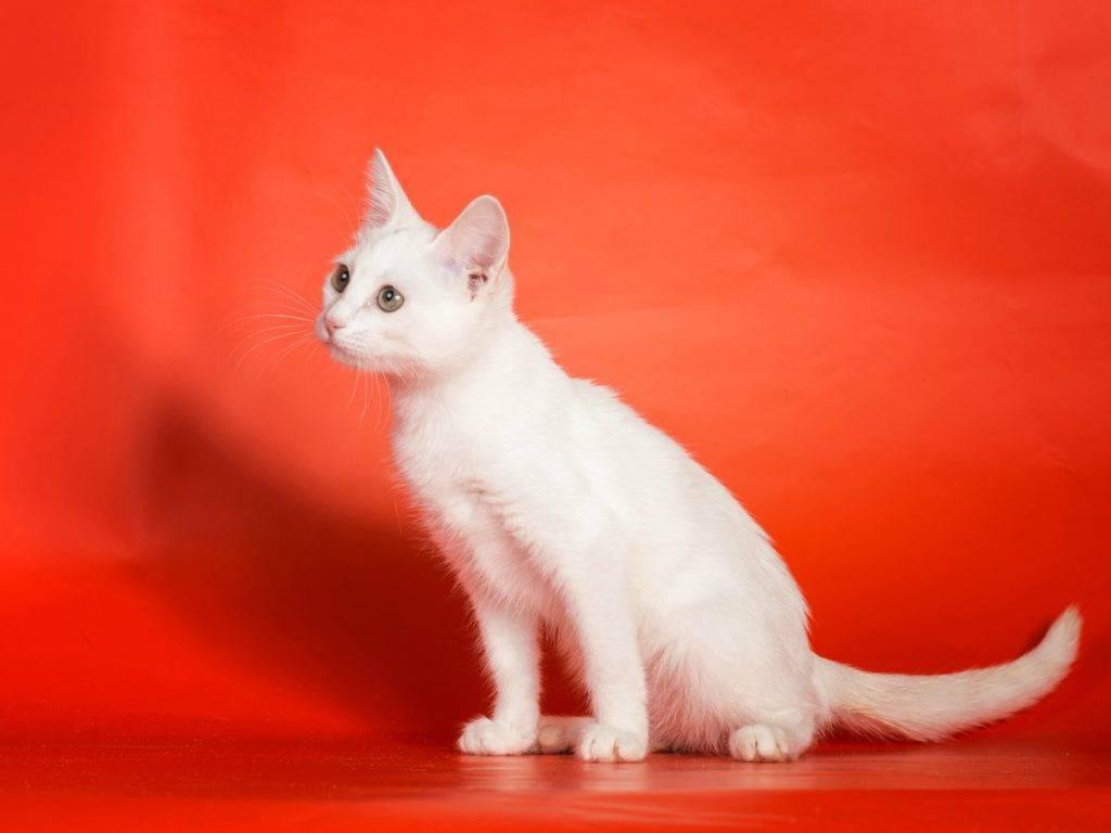Анатолийская кошка: фото кошки, цена, описание породы, характер, видео, питомники