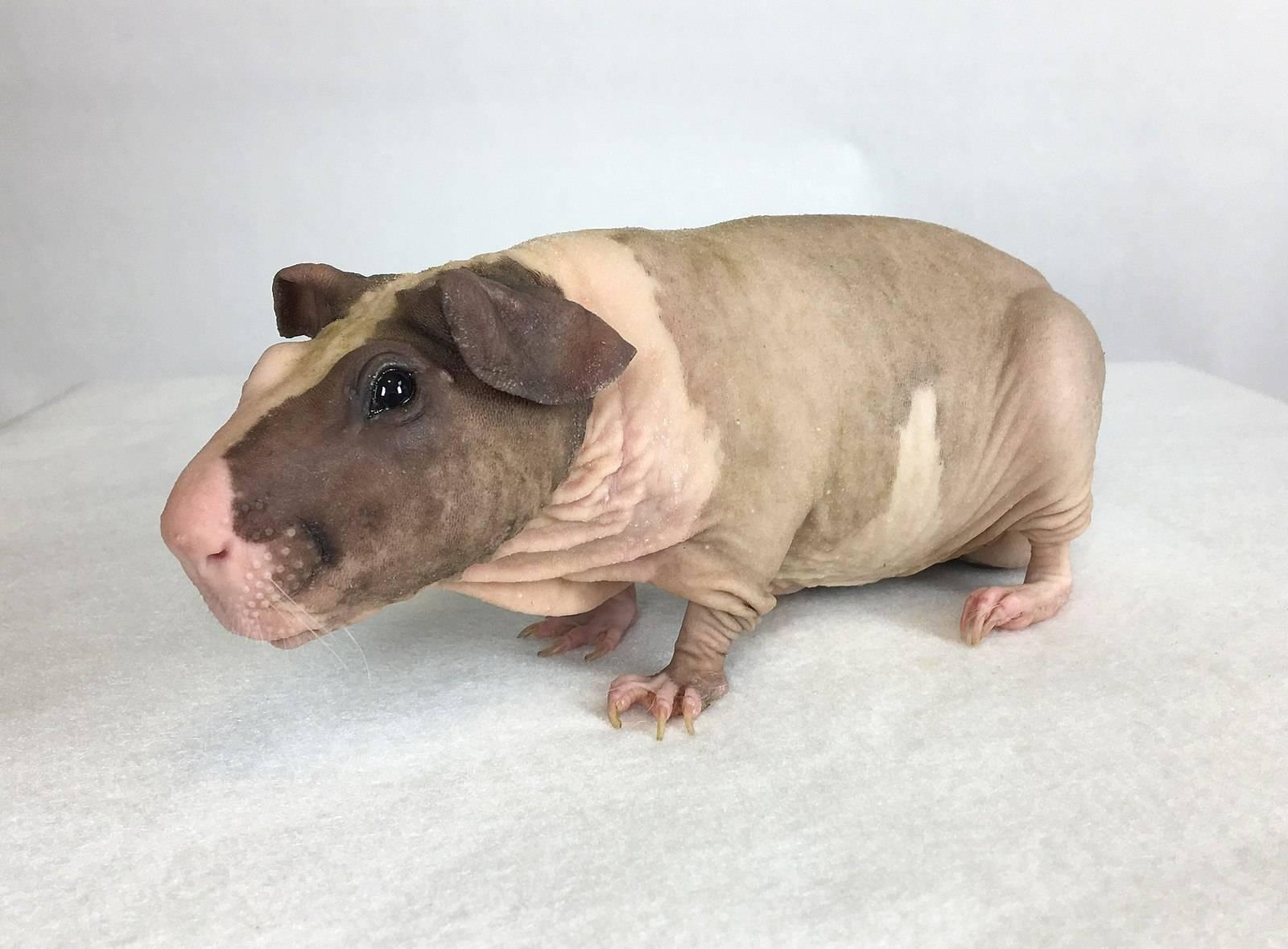 Лысая морская свинка – особенности ухода и содержания, чем кормить животное?