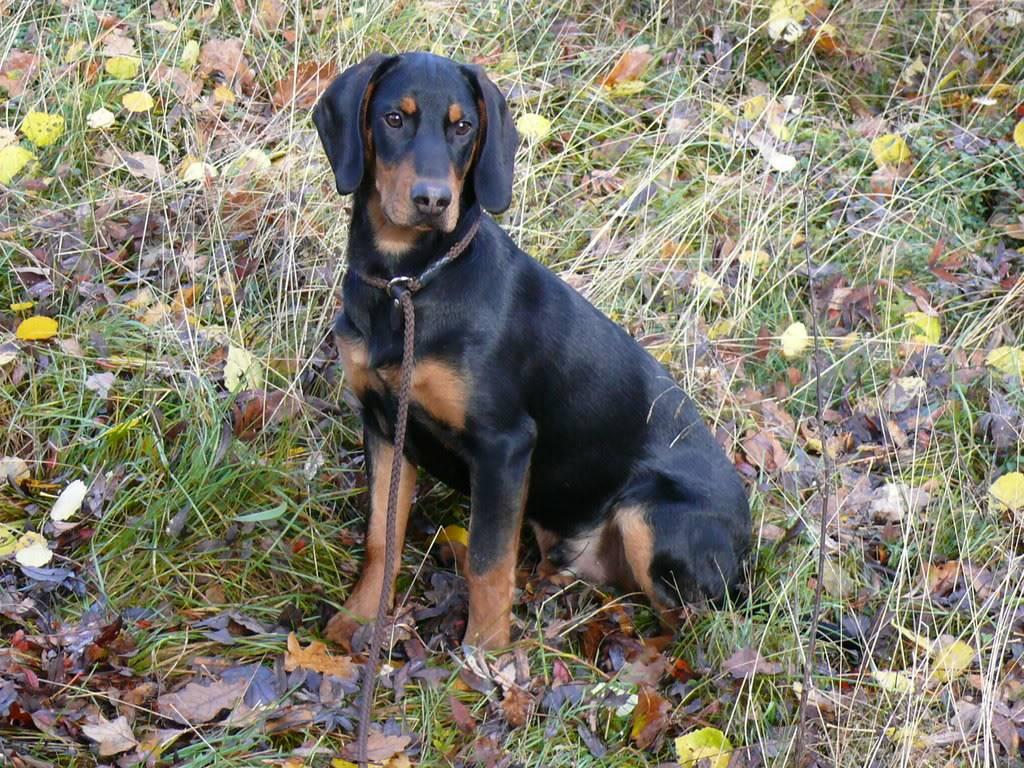 Словацкий чувач: описание породы собак с фото и видео
