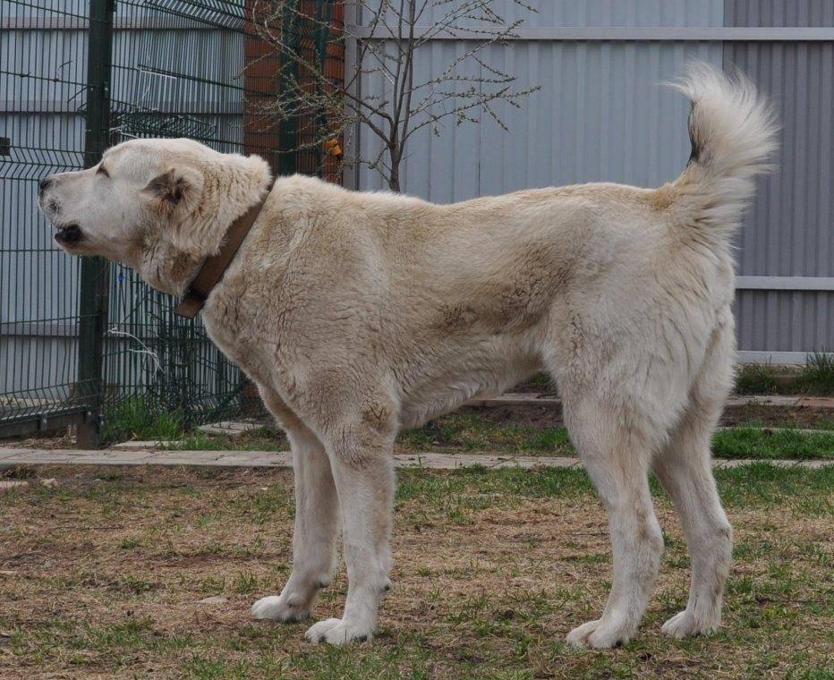 Среднеазиатская овчарка - 140 фото породистых собаки и советы по выбору щенков