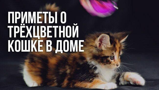 Приметы о трёхцветных кошках