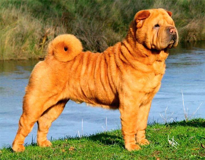 Шарпей: описание породы, характер, фото собаки, уход и отзывы собаководов