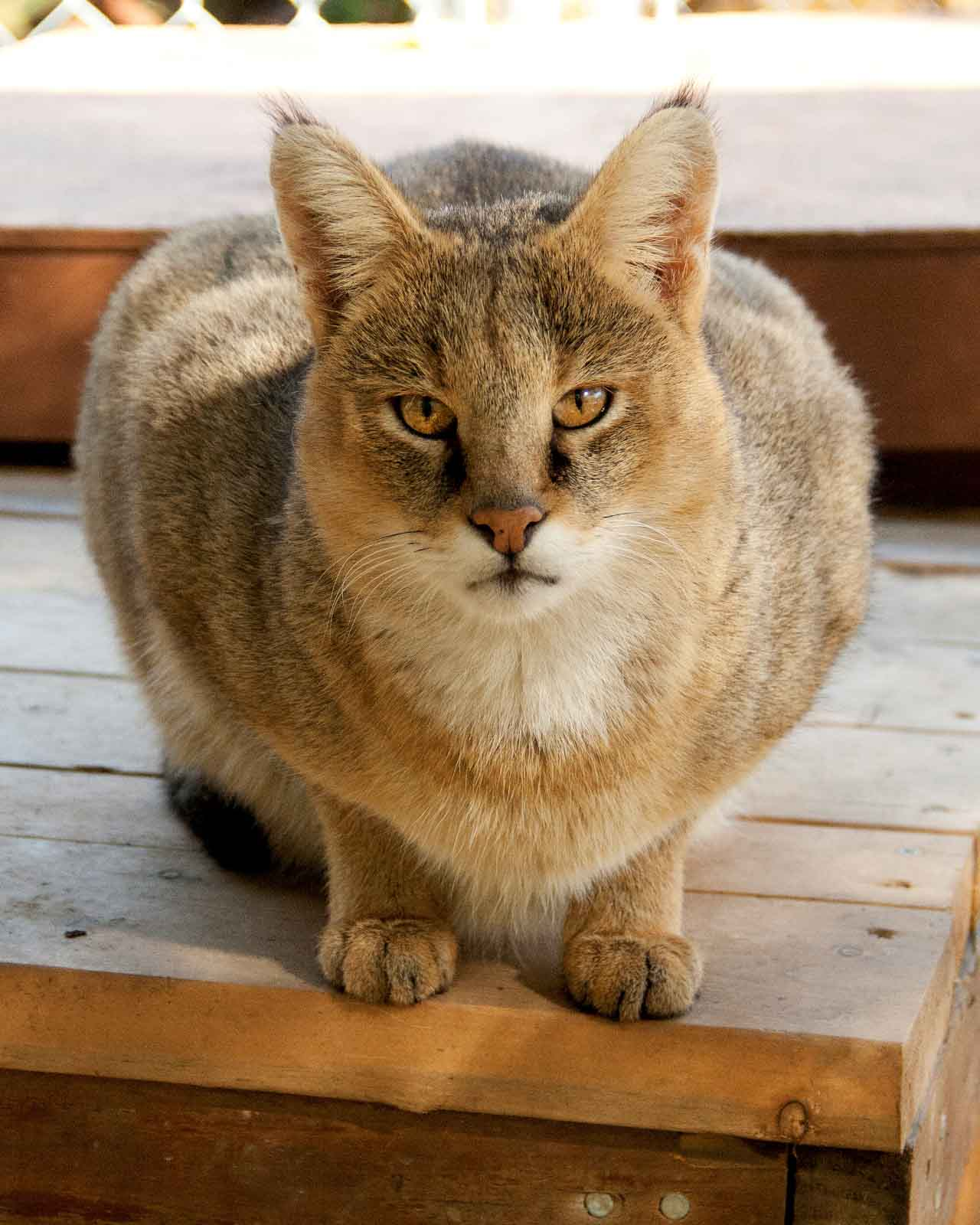 Чаузи (chausie): фото и описание породы кошек (характер, уход и кормление)