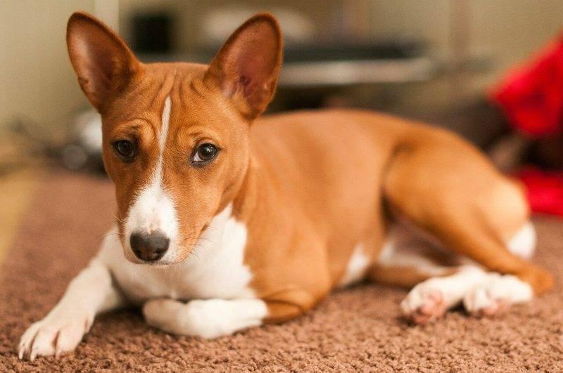 ᐉ порода собаки которая не умеет гавкать? - zoomanji.ru