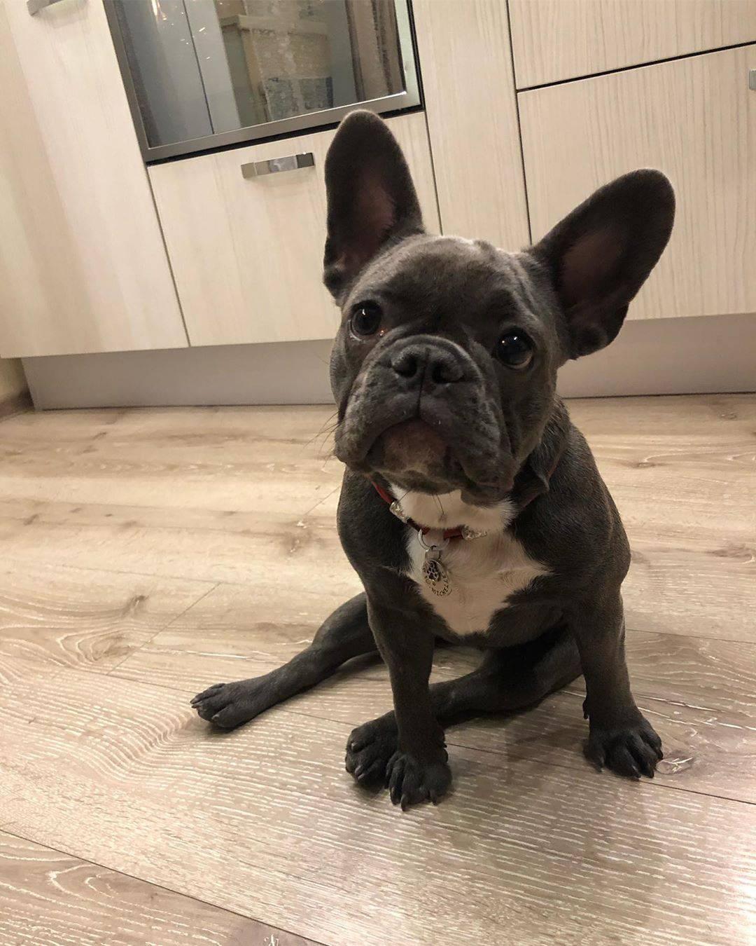 Французский бульдог: описание породы и характер щенков