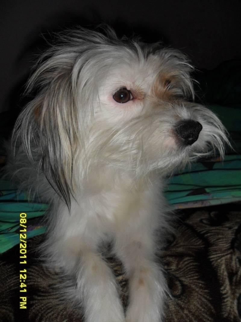 Китайская хохлатая собака: фото, уход и содержание, описание породы, темперамент, питание, цена щенков, отзывы, внешний вид