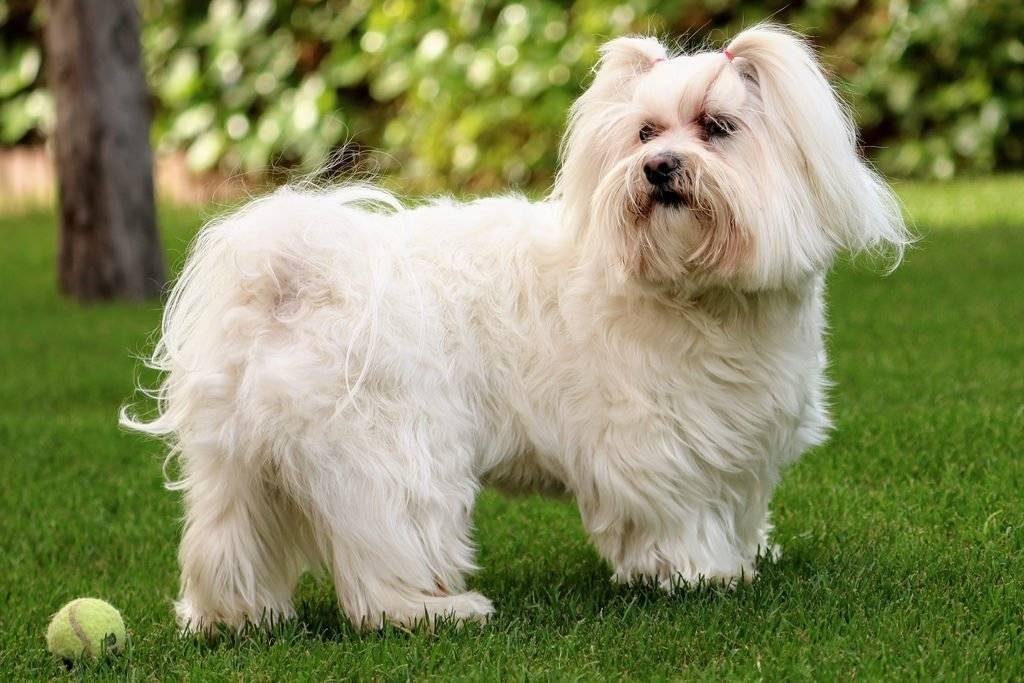Белые собаки: популярные породы и особенности содержания - purina.ru
