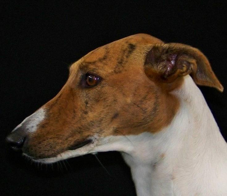 Бурбонский бракк: описание породы, фото собаки