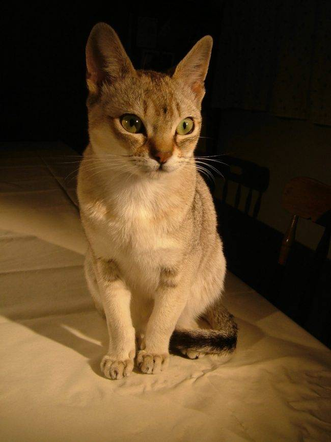 Цейлонская кошка: описание, характер, фото, цена, содержание