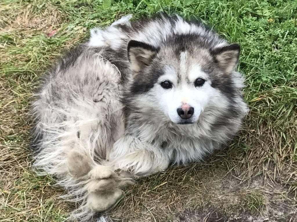 Ненецкая лайка (оленегонная): описание породы собак с фото и видео