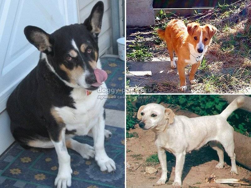 Алопекис (малая греческая домашняя собака): цена, описание породы