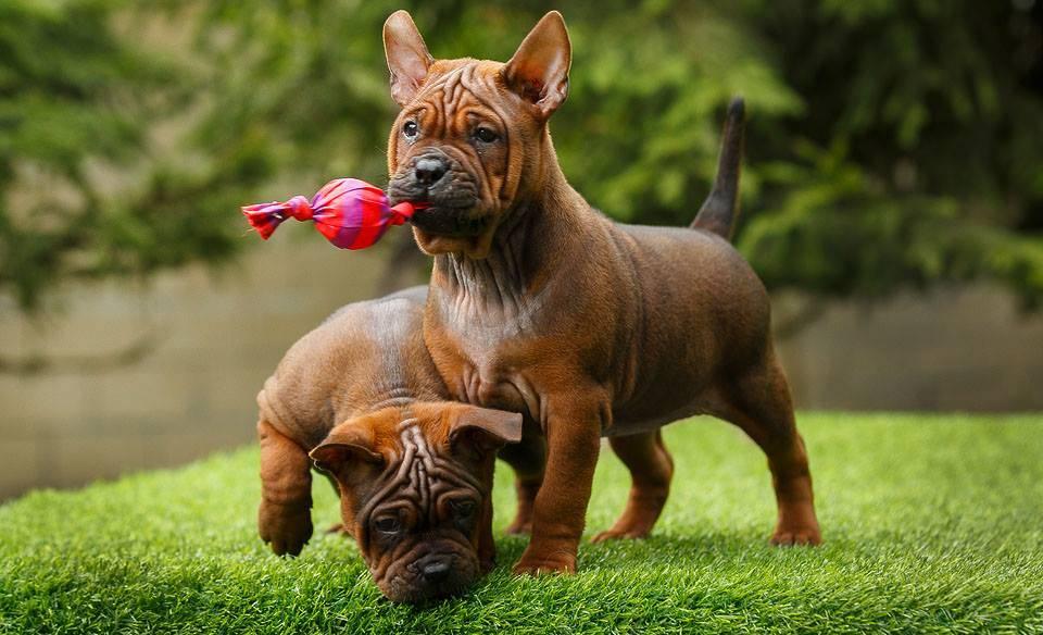 Китайская собака: разнообразие пород, разведение, уход, фото